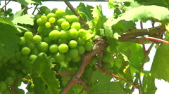 Bunch of grapes on the vine Stock Footage