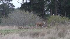 California coastal deer Stock Footage