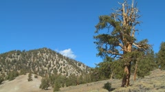 Old bristle cone pine trees grow in the White Mountains of California. - stock footage
