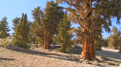 Pan across ancient bristlecone pine trees growing in the White Mountains Stock Footage