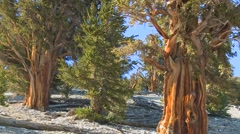Ancient bristlecone pine trees growing in the White Mountains of California. Stock Footage