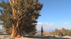 Ancient bristlecone pine trees growing in the White Mountains of California in a - stock footage