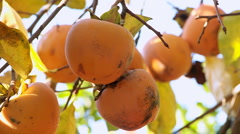 Japanese apple hanging on a branch Stock Footage