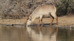 Waterbuck drinking Stock Footage