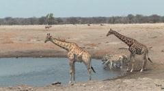 Masai Giraffe Etosha Stock Footage