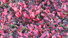 Autumn, tundra, berries Stock Footage
