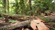 Army ants (Eciton burchellii) Stock Footage