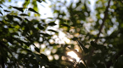 Green leaves and branches of the Elm (Ulmus) tree Stock Footage