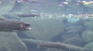 Rainbow trout swimming underwater in a pond. Stock Footage