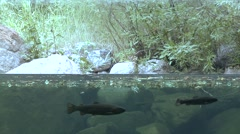Water split level shot of rainbow trout in stream. Stock Footage