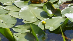Leaves of water lilies on the lake surface Stock Footage