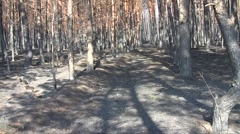 Burnt pines (Pinus sylvestris) swaying in the wind in the forest plantations Stock Footage