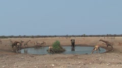 Mixed animals at waterhole Etosha Stock Footage