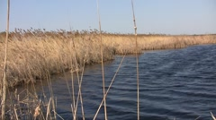 Dry common reed grass (Phragmites australis) swaying in the wind at the lake ban Stock Footage