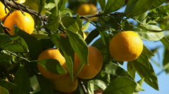 Tangerines hanging on a branch Stock Footage