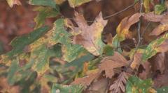 Red Oak Tree Stock Footage