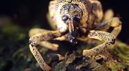 Amazonian weevil Stock Footage