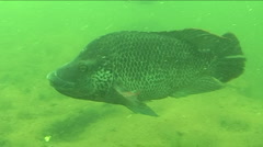 Male mozambique tilapia Stock Footage