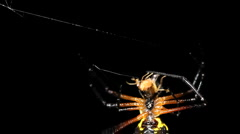 Spiny orb weaver spider (Gasteracantha sp.) Stock Footage