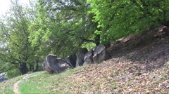 Lime trees (Tilia cordata) swaying in the wind on the mountain slope  in the spr Stock Footage