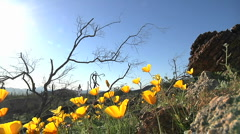 California poppies waving in a breeze. Stock Footage