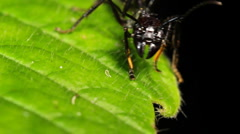Bullet Ant or Conga Ant (Paraponera clavata) Stock Footage