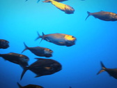 Stock Video Footage of Fish Swimming