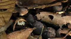 Army ants (Eciton burchelli) Stock Footage