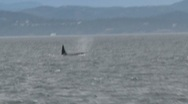 Stock Video Footage of Orcas, Vancouver Island, Canada