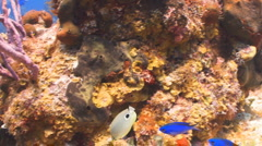 Butterfly fish (2) Stock Footage