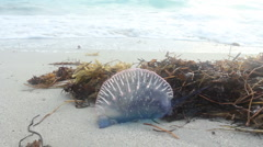 Portuguese Man-of-War on Miami Beach - stock footage