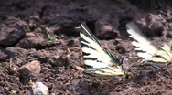Stock Video Footage of Scarce Swallowtail (Iphiclides podalirius podalirius) couple sucking moisture ou