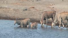 Elands drinking from waterhole Etosha Stock Footage