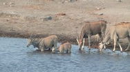 Stock Video Footage of Elands drinking from waterhole Etosha