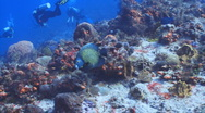 Stock Video Footage of French Angelfish and diver in the background