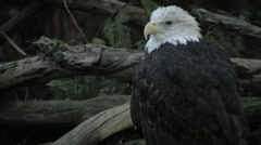 Injured Bald Eagle - stock footage