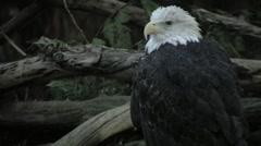 Injured Bald Eagle Stock Footage