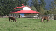 Miniture Horses Grazing near Red Barn, Fraser Valley, Canada Stock Footage