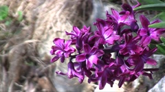 Common Hyacinth (Hyacinthus orientalis) flowers trembling in the wind in the spr Stock Footage