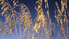 Wild Coastal Grasses in Close-up Stock Footage