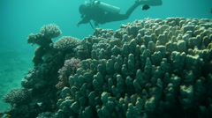 Stock Video Footage of Diver corals 1110 P1