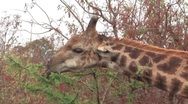 Giraffes in Kruger National Park South Africa Stock Footage