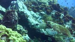 3 legged Hawksbill turtle (Eretmochelys imbricata) chased by clark anemonefish Stock Footage