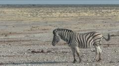 Zebra at the waterhole - stock footage