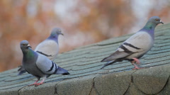 Pigeons On Roof   Stock Footage