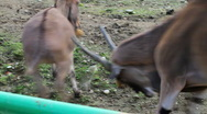 Funny footage of donkey eland fight Stock Footage