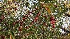 Fruitful autumn Stock Footage