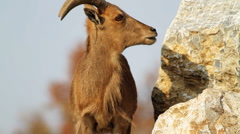 Barbary Sheep  Stock Footage