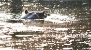 Stock Video Footage of Hippo Swimming