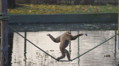 Monkey Walking Along a Tightrope Stock Footage